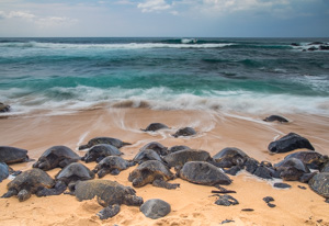 Honu in Motion2