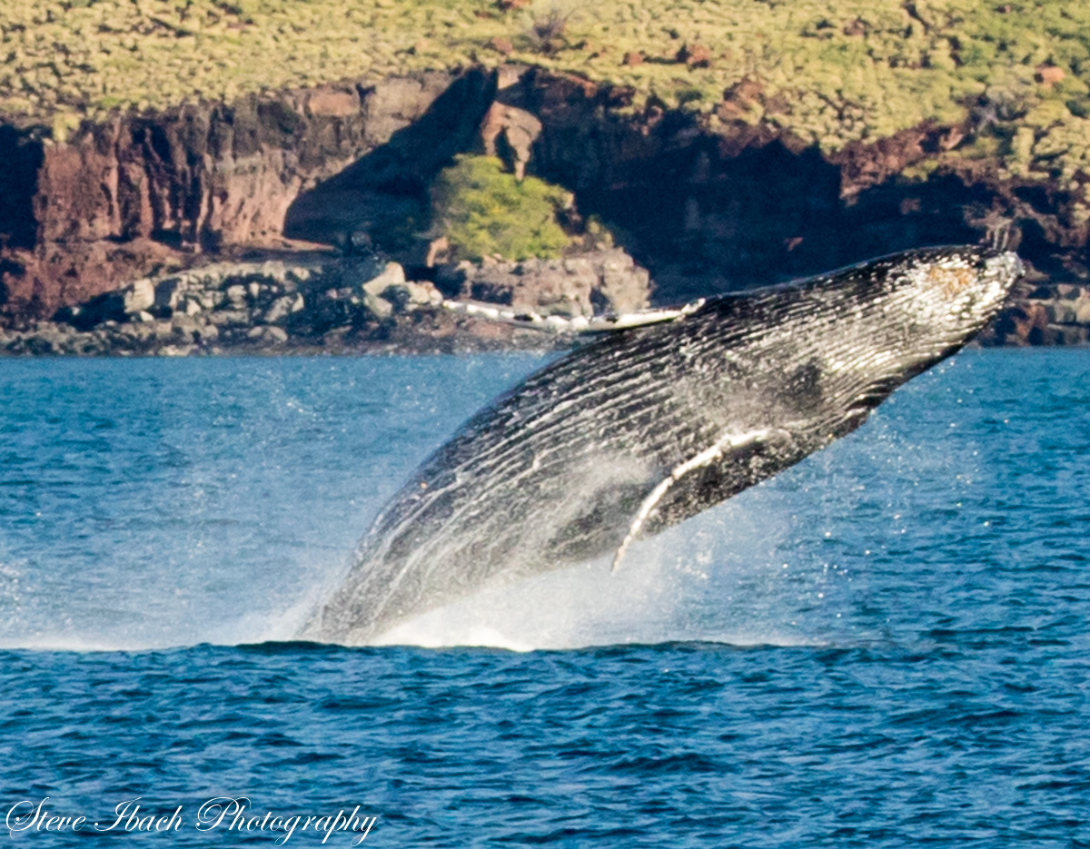 Humback whale breach, maui